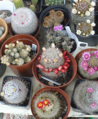 kaktuski.JPG