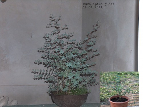 Eukaliptus222.jpg