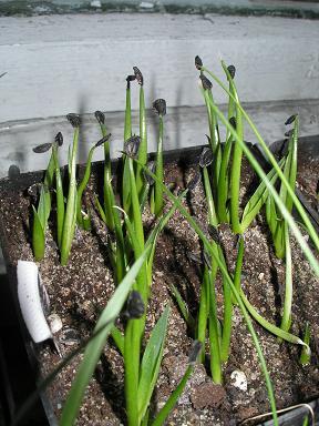 agave neomexicana.JPG