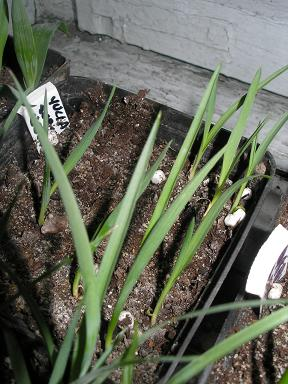 yucca elata subsp. veriedensis.JPG