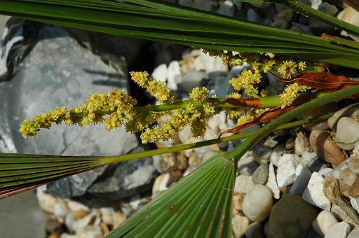kwiat trachycarpus nanus1.JPG
