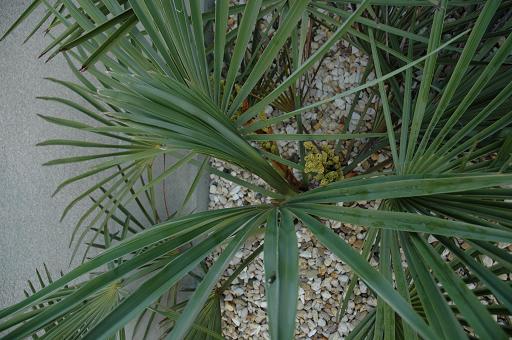 kwiat trachycarpus nanus 3.JPG