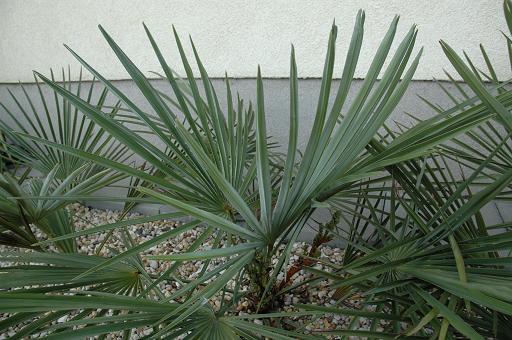kwiat trachycarpus nanus 4.JPG