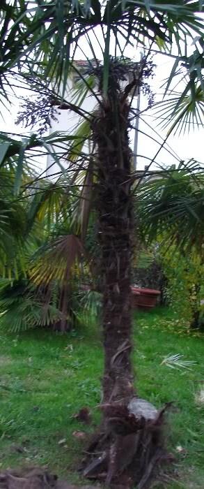 trachucarpus.jpg