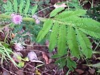 Mimosa invisa.jpg