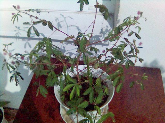 mimoza2.jpg