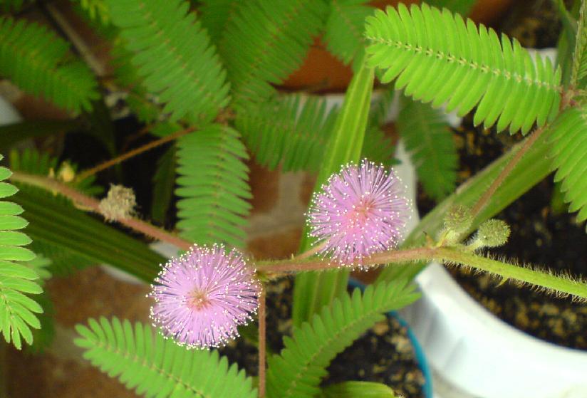mimoza 1.jpg