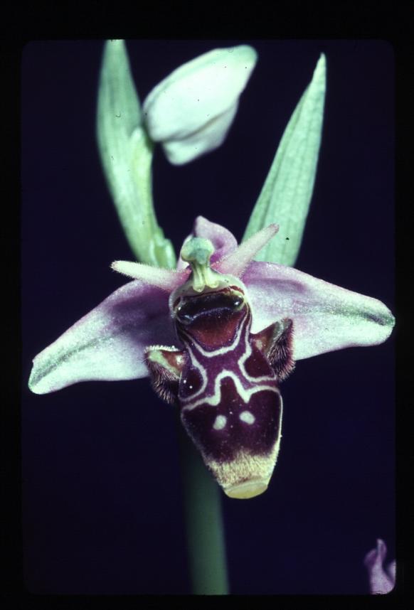 Ophrys_scolopax_HC.jpg