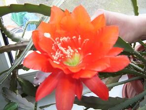 epiphyllum1.jpg