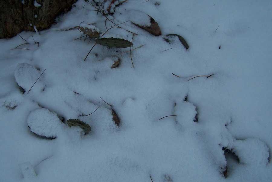 opuncje-w-sniegu.jpg