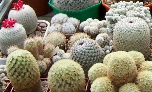 kaktusy marka balcerzaka1.jpg