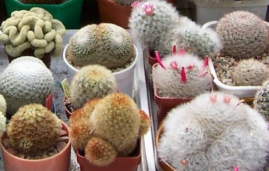 kaktusy marka balcerzaka2a.jpg
