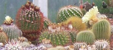 kaktusy marka balcerzaka3.jpg
