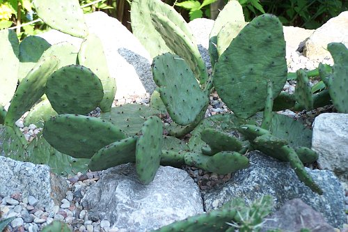 kaktusy22007.jpg