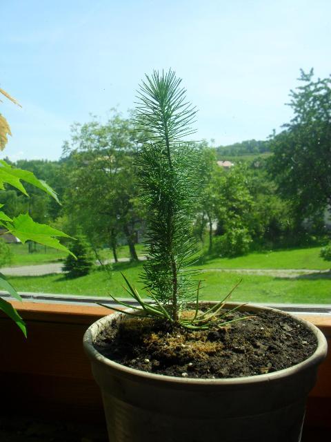 Pinus Pinea 2_Vga.jpg