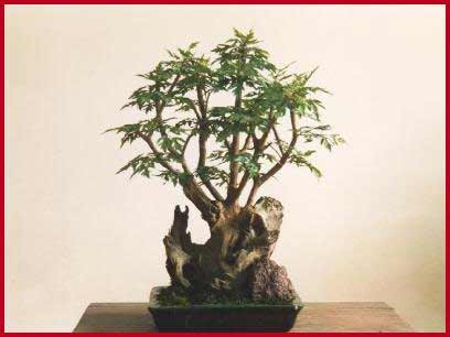 Aralia bonsai.jpg