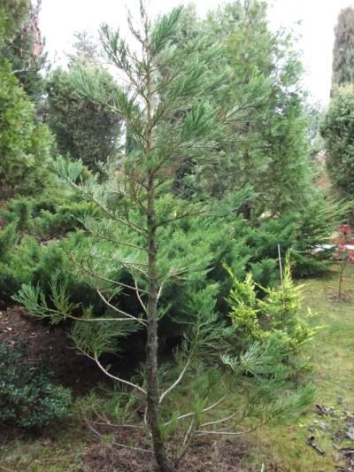 Sequoiadendron giganteum.jpg