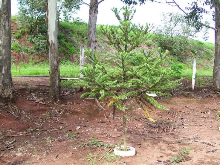800px-Araucaria_angustifolia2[1].jpg