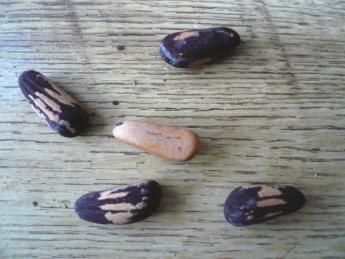 nasiona sosny.JPG