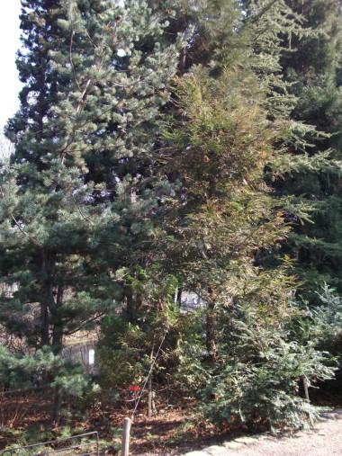 Sequoia sempervirens 01_1.jpg