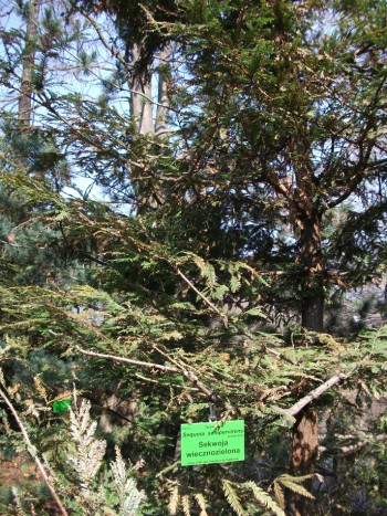 Sequoia sempervirens 01_2.jpg