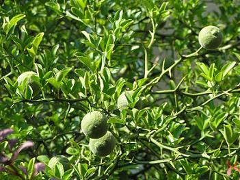 szczecin poncirus trifoliata.JPG