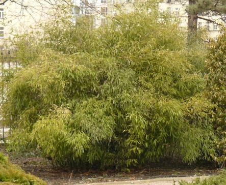 bambusfargesia.JPG