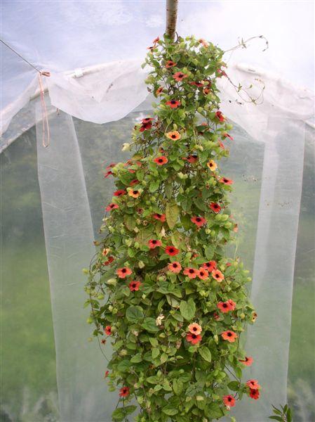 tunbergia.jpg