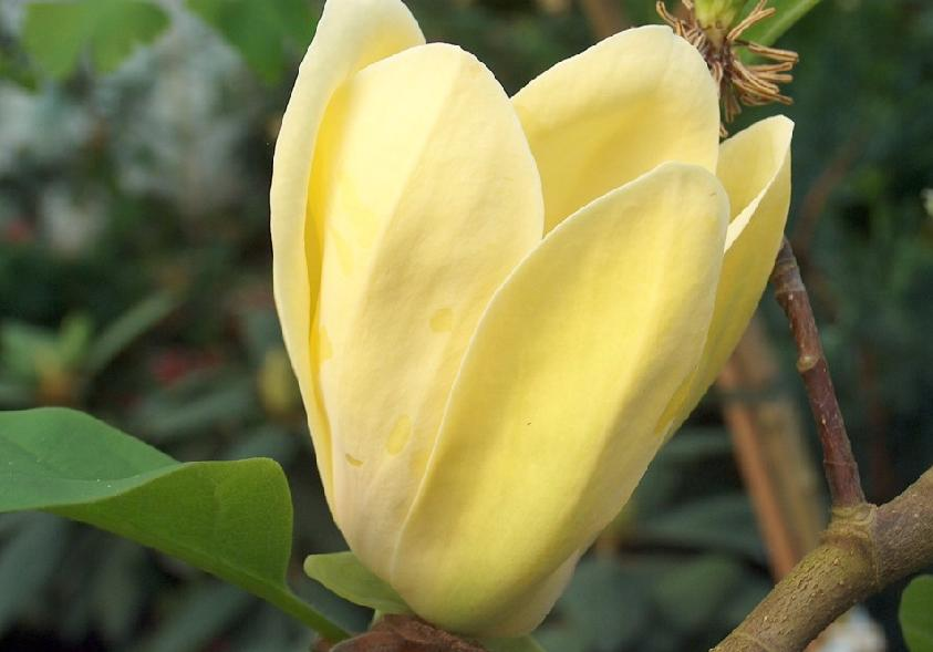 Magnolia Yellow Bird.jpg