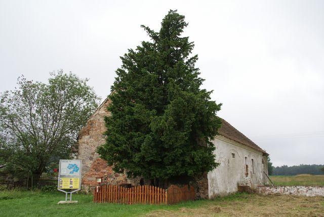 najstarsze drzewo w Polsce.jpg