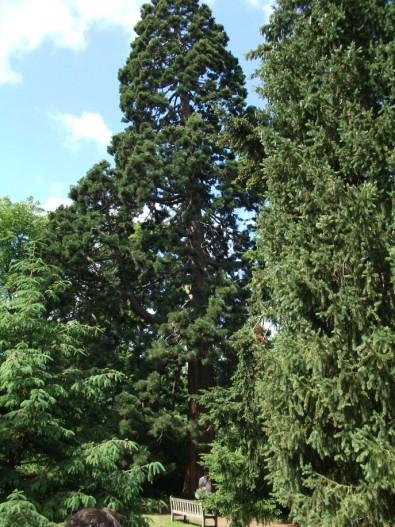Sequoiadendron giganteum w Kew Gardens.jpg