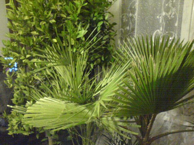 Palmy2.jpg