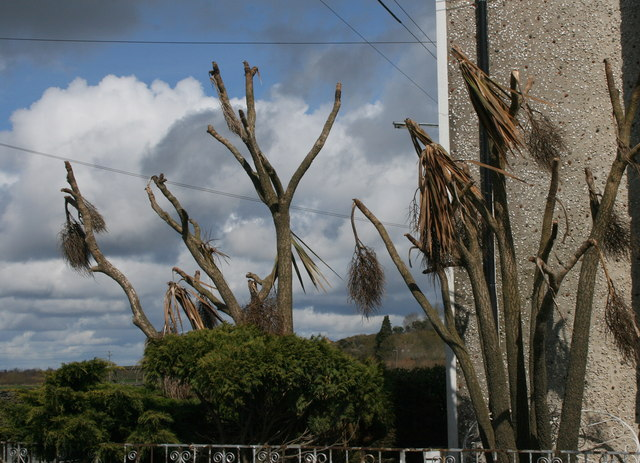 50 years old cordyline death in Ireland.jpg