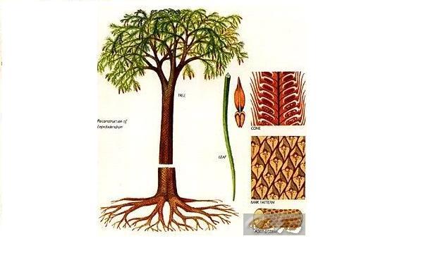 lipidodendron.jpg