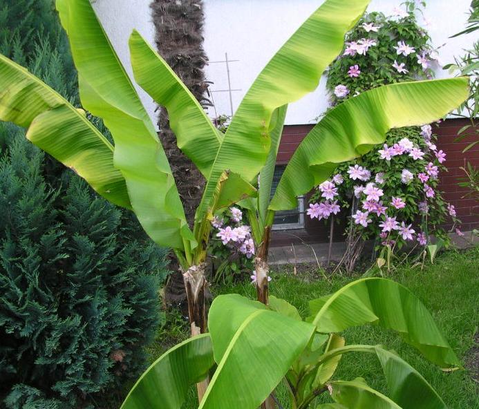 bananowce.JPG