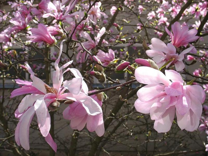 kwiatymagnolii.jpg