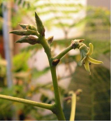 kwiatanacardiumB.JPG