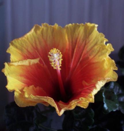 hibiscusrataja.JPG