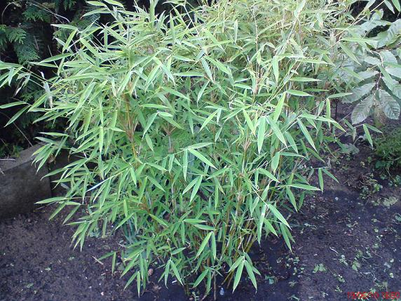 Bambus Frag.JPG