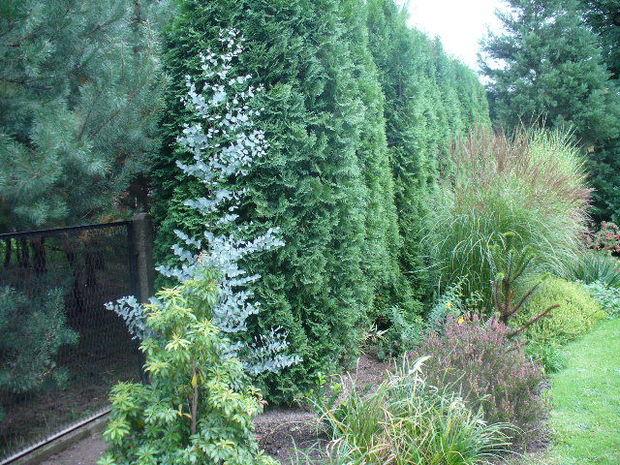 eukaliptuserik.jpg
