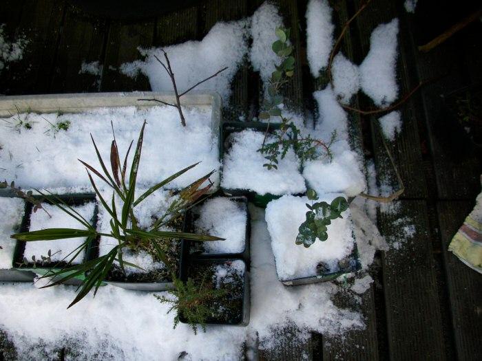 euakliptus_trachycarpus.2009.02.20.jpg