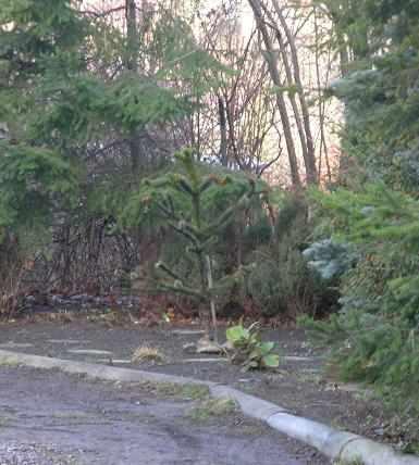 araucaria sopot 2006a_2.jpg
