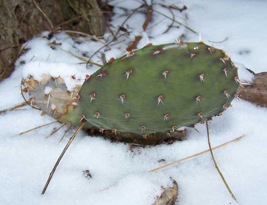 macrorhiza-v.-spaerocarpa.jpg