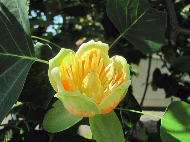 tulipanowiec12.jpg