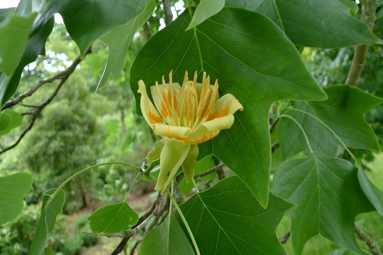 tulipanowiec1.JPG