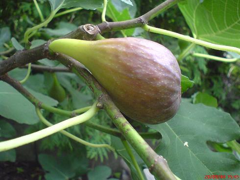Owoc Figi.JPG