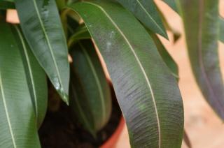 oleander 002.jpg