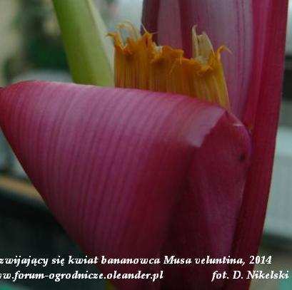 kwiat sadzonki bananowca.JPG