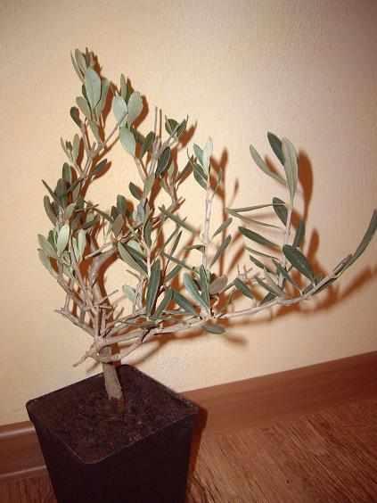 marwi sadzonka oliwki1a_2.JPG