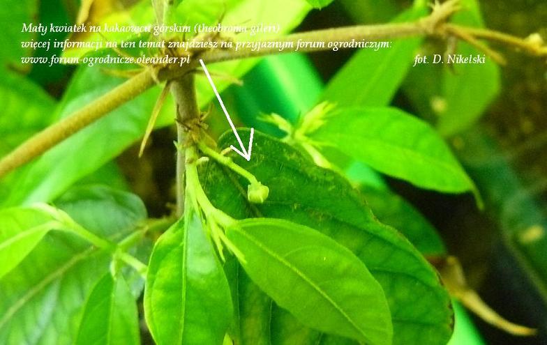 kwiat kakaowca górskiego gileri.JPG